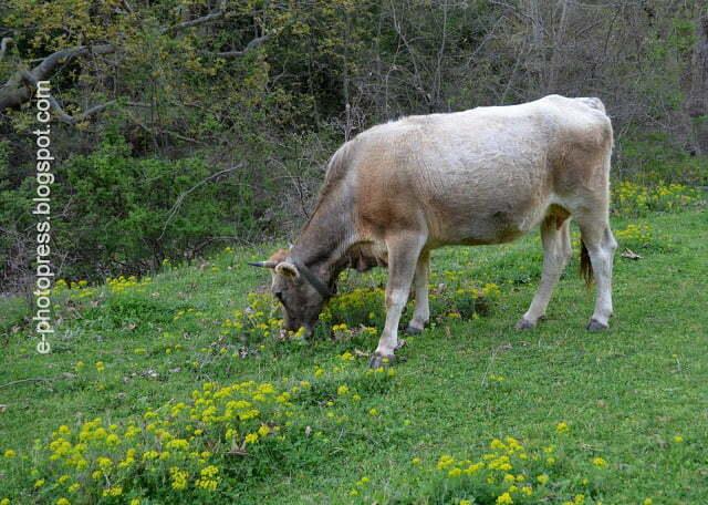 αγελάδα, φωτο Σάββας Αυγητίδης